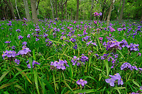 Prairie Spiderwort (Tradescantia occidentalis), blooming on forest floor, Palmetto State Park, Gonzales County, Texas, USA