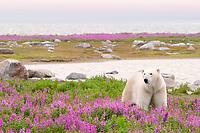 polar bear, Ursus maritimus, walking in purple fireweed flowers, Chamaenerion angustifolium, on an island at Hubbart Point, Hudson Bay, Churchill, Manitoba, Canada, Arctic Ocean