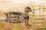 Chestnut Teal (Anas castanea) female swimming, Murramarang Beach, Murramarang National Park, New South Wales, Australia