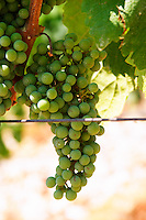Grape bunches on the vine. Zilavka grape variety. One of their best vineyards with very poor soil on a hilltop mountain near Citluk and Zitomislic. Vinarija Citluk winery in Citluk near Mostar, part of Hercegovina Vino, Mostar. Federation Bosne i Hercegovine. Bosnia Herzegovina, Europe.