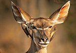 Oxpeckers are the angel and the devil as they whisper into impalas ear by Hung Tsui
