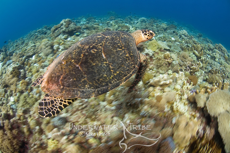Hawksbill turtle, Eretmochelys imbricata, shot with slow shutter speed to enhance motion, Layang Layang atoll, Sabah, Borneo, Malaysia, South China Sea, Pacific Ocean