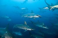 schooling Hammerheads front of Darwin Island, Galapagos Islands, Ecuador, East Pacific Ocean