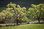 Oak trees budding out during spring time in the Sierra Nevada foothills of central California.