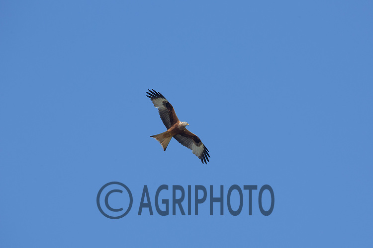 Red Kites over a silage field <br /> Picture Tim Scrivener 07850 303986<br /> ….covering agriculture in the UK….