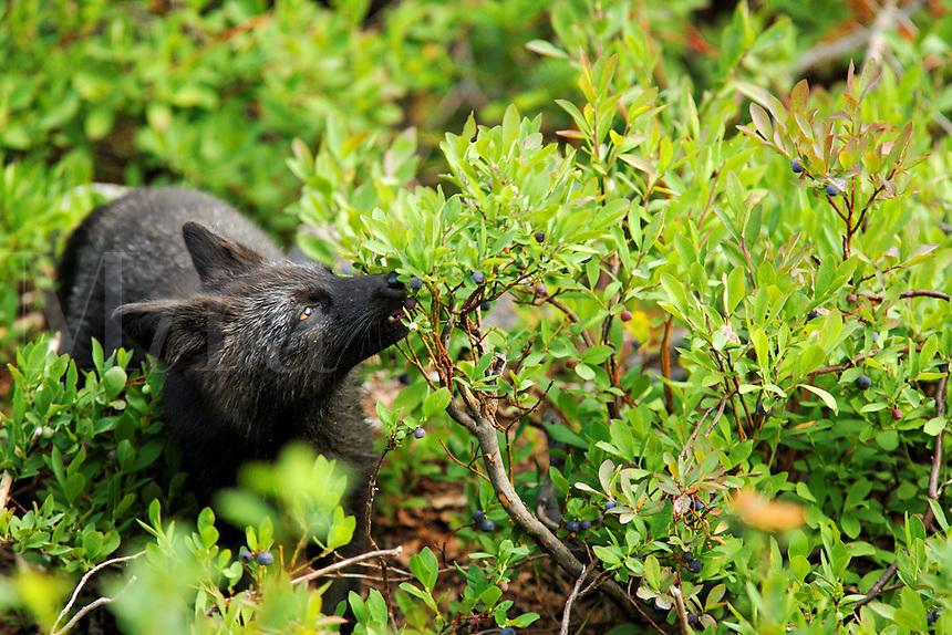 Black fox (dark phase of red fox, Vulpes Vulpes) eating huckleberry, Paradise Valley, Mount Rainier National Park, Washington, USA