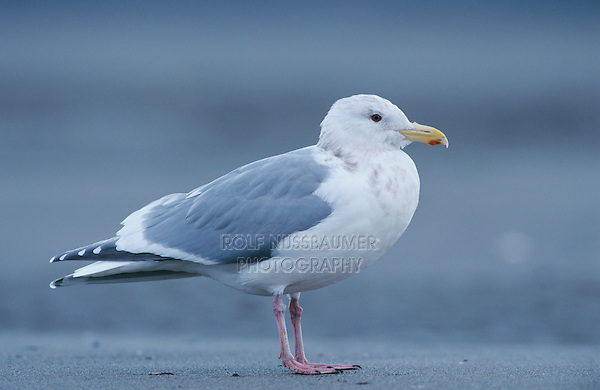 Glaucous-winged Gull, Larus glaucescens, immature, Homer, Alaska, USA, March 2000