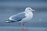 Glaucous-winged Gull, Larus glaucescens, immature, Homer, Alaska, USA, March 2000