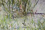 Duckweed growing on small New England pond.