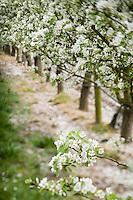 Europe/France/Bretagne/56/Morbihan/Theix : Les vergers de poiriers  en fleur de Gérard le Pocréau,producteur d'eaux de vies
