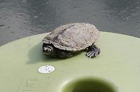 Wasserschildkröte - Jaderberg 21.07.2020: Tier- und Freizeitpark Jaderpark