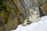 Snow Leopard in the snow in front of a rocky ledge - CA