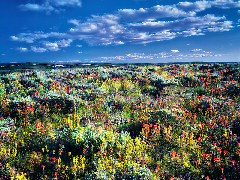 Lime and red paintbrush with sagebrush. Steens Mountain Wilderness, Oregon