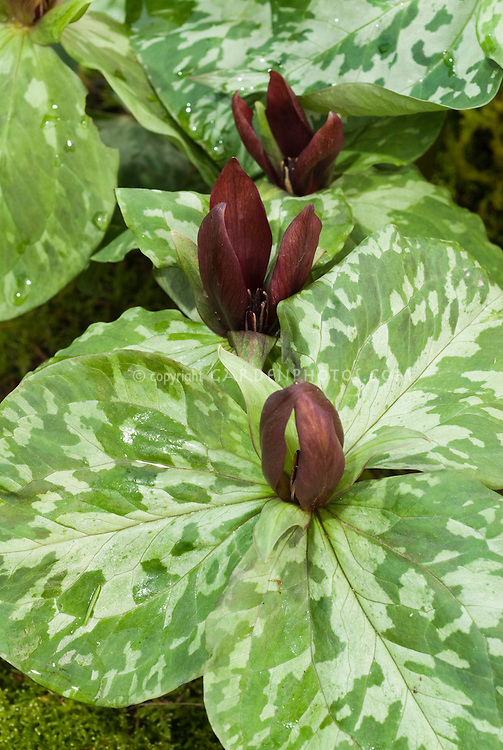 Little Sweet Betsy native American woodland wildflower Trillium cuneatum in spring flowers