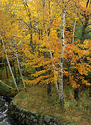 Birch forest during the autumn months in New England.