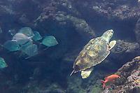 France, Bretagne, (29), Finistère, Brest: Océanopolis est un centre de culture scientifique consacré aux océans - Tortue de mer