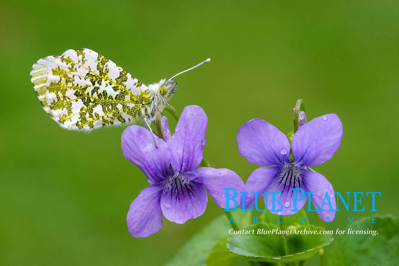 Orange-tip Butterfly (Anthocharis cardamines), adult, roosting on Dog Violet (Viola canina), in rain, Leicestershire, England, United Kingdom, Europe
