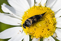 Gebänderter Stachelkäfer, Variimorda villosa, Mordella villosa, Stachelkäfer, Mordellidae, tumbling flower beetles