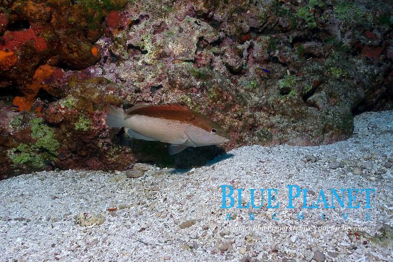 Coney grouper, Cephalopholis fulva, bicolor phase, Fernando de Noronha national marine sanctuary, Pernambuco, Brazil (S. Atlantic)