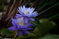 Water Lilies, San Angelo, Texas