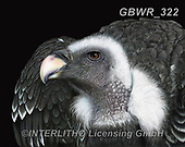 Simon, REALISTIC ANIMALS, REALISTISCHE TIERE, ANIMALES REALISTICOS, innovativ, paintings+++++RiverPeacock_AlexTheVulture,GBWR322,#a#, EVERYDAY