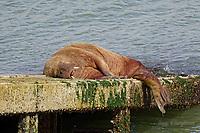 2021 03 27 Pembrokeshire's wandering walrus, Tenby, Wales, UK