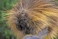 Porcupine (Erethizon dorsatum) in autumn, North America.