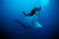 Diver releases hooked sickle-fin devil ray, Mobula tarapacana, from long line. Cocos Island, Costa Rica, Pacific Ocean