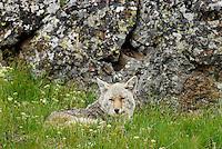 Wild Coyote (Canis latrans) resting among wildflowers.  Western U.S., June.