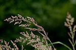 Europa, DEU, Deutschland, Nordrhein-Westfalen, Niederrhein, Nettetal, Naturpark Schwalm-Nette,, Graeser, Natur, Umwelt, Pflanzen, Pflanzenkunde, Botanik, Biologie, <br /> <br /> [Fuer die Nutzung gelten die jeweils gueltigen Allgemeinen Liefer-und Geschaeftsbedingungen. Nutzung nur gegen Verwendungsmeldung und Nachweis. Download der AGB unter http://www.image-box.com oder werden auf Anfrage zugesendet. Freigabe ist vorher erforderlich. Jede Nutzung des Fotos ist honorarpflichtig gemaess derzeit gueltiger MFM Liste - Kontakt, Uwe Schmid-Fotografie, Duisburg, Tel. (+49).2065.677997, ..archiv@image-box.com, www.image-box.com]
