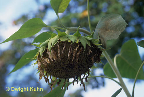 HS13-082z   Sunflower flower head going to seed, head bowing downward