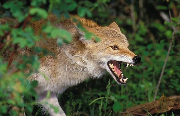 COYOTE..Rocky Mountains..(Canis latrans).