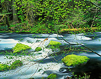 McKenzie River with new growth on Vine Maple trees and mossy rocks. Oregon.