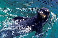 The endangered Hawaiian monk seal, latin name: monachus schauinslandi, at the Waikiki Aquarium