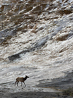 An elk cow walks beneath the terraces at Mammoth Hot Springs.
