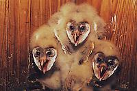 Barn Owl (Tyto alba), young in nest box, Rio Grande Valley, Texas, USA