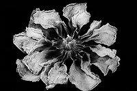 Withered Peony flower