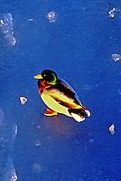 Animais. Aves. Marrecos (Anas platyrhynchos) no gelo. Foto de Juca Martins