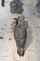 Williamson's Sapsucker,Sphyrapicus thyroideus, adult female at nesting cavity in aspen tree, Rocky Mountain National Park, Colorado, USA
