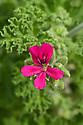 Pelargonium 'Rollisson's Unique', end June.