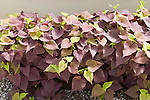 Sweet Heart Red Ornamental Sweet Potato, Ipomoea hybrid