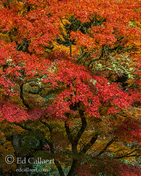 Japanese Maple, Acer palmatum, Mill Valley, Marin County, California