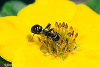 AN06-010z  Ant - on flower collecting nectar