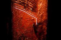 Seringueira sangra látex após o corte.<br /> <br /> A seringueira (Hevea brasiliensis), também chamada árvore-da-borracha1 , é uma árvore da família das Euphorbiaceae. Apresenta folhas compostas, flores pequeninas e reunidas em amplas panículas. Sua madeira é branca e leve e, de seu látex, se fabrica a borracha. Seu fruto encontra-se em uma grande cápsula com sementes ricas em óleo, que pode servir de matéria-prima para resinas, vernizes e tintas.2<br /> <br /> O trabalhador que retira o látex da seringueira chama-se seringueiro.<br /> <br /> A seringueira é uma árvore originária da bacia hidrográfica do Rio Amazonas, onde existia em abundância e com exclusividade, características que geraram o extrativismo e o chamado ciclo da borracha, período da história brasileira de muita riqueza e pujança para a região amazônica. A espécie foi introduzida no estado da Bahia, no Brasil, por volta de 1906. 3<br /> <br /> O ciclo brasileiro da borracha entrou em declínio quando grandes hortos foram plantados por ingleses, para fins de exploração, no continente africano tropical, na Malásia e no Sri Lanca.<br /> <br /> <br /> Seringal Cachoeira, Xapurí, Acre, Brasil.<br /> Foto: ©Paulo Santos<br /> 1999