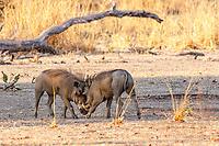 Africa, Zambia, South Luangwa National Park, warthog, fight