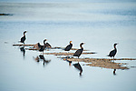 Ding Darling National Wildlife Refuge, Sanibel Island, Florida; Double-crested Cormorant (Phalacrocorax auritus) birds stand on the sandbar at low tide, preaning and drying their feathers © Matthew Meier Photography, matthewmeierphoto.com All Rights Reserved