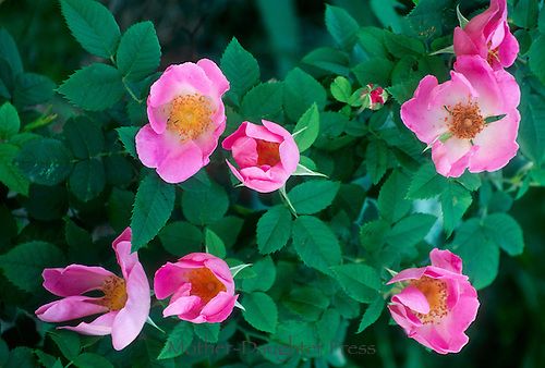 Pink Rugosa Roses blooming in spring beautiful and edible