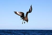 Brown Skua in flight off Tasmania