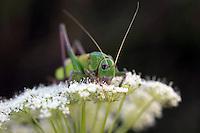 Close view of a big grasshopper on a blurred, dark background