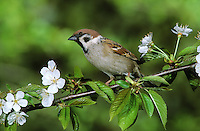 Feldspatz, Feld-Spatz, Feldsperling, Feld-Sperling, Spatz, Sperling, Passer montanus, tree sparrow